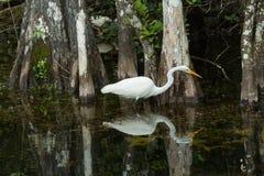 在狂放的伟大的白鹭在沼泽地 佛罗里达 库存照片