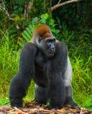 在狂放的低地大猩猩 刚果共和国 库存照片