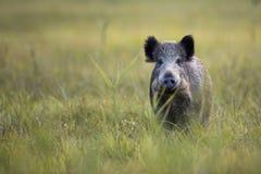 在狂放的公猪 免版税图库摄影