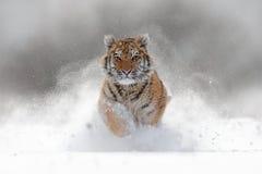 在狂放的冬天自然的老虎 跑在雪的阿穆尔河老虎 行动与危险动物的野生生物场面 在tajga的冷的冬天,拉斯 库存照片