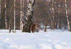 在狂放的冬天自然-豹属底格里斯河altaica的走的东北虎 库存图片