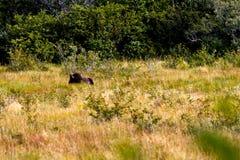 在狂放的北美野牛 库存照片
