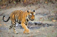 在狂放的印地安老虎 皇家孟加拉老虎(豹属底格里斯河) 库存图片