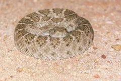 在狂放的卷起的菱纹背响尾蛇响尾蛇 免版税库存照片