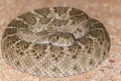 在狂放的卷起的菱纹背响尾蛇响尾蛇 图库摄影