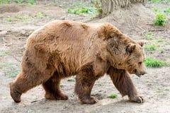 在狂放的大喀尔巴汗眉头熊 免版税库存图片