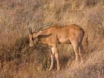 在狂放的大草原的幼小大羚羊小牛(羚羊属)非洲羚羊 库存照片