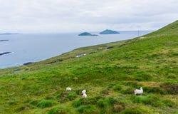 在狂放的大西洋途中的绵羊 库存图片