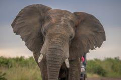 在狂放的大象在夸祖鲁纳塔尔 免版税图库摄影