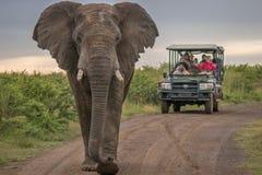 在狂放的大象在夸祖鲁纳塔尔 库存照片