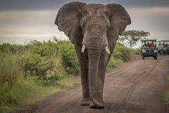在狂放的大象在夸祖鲁纳塔尔 免版税库存照片