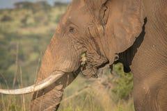 在狂放的大象在夸祖鲁纳塔尔 库存图片