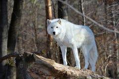 在狂放的寒带草原狼 免版税库存图片