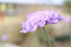 在狂放的小紫色花 库存图片