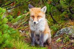 在狂放的幼小狐狸 库存照片