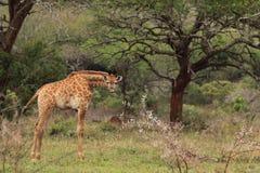 在狂放的幼小长颈鹿 库存图片