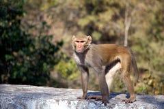 在狂放的恒河猴 图库摄影