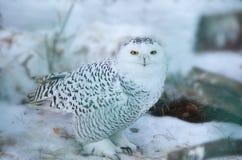 在狂放的斯诺伊猫头鹰 免版税库存照片