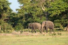 在狂放的斯里兰卡的大象 库存照片