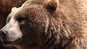 在狂放的棕熊 影视素材