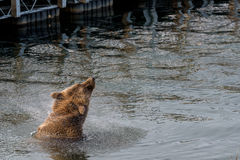 在狂放的棕熊 免版税库存照片