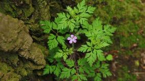 在狂放的森林草本罗伯特花的一朵小紫色花,大竺葵robertianum开花 股票录像