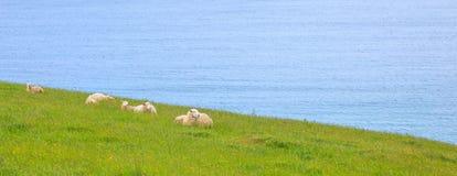 在狂放的概念的动物野生生物 绵羊牧群和羊羔在自然新西兰绿草草甸领域平安地居住 免版税图库摄影