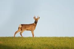 在狂放的欧洲獐鹿大型装配架 图库摄影