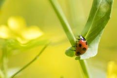 在狂放的油菜的瓢虫 免版税库存图片