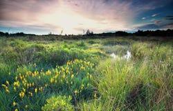 在狂放的沼泽的日出与沼泽水仙绽放 库存照片