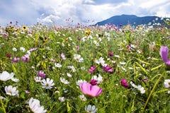 在狂放的波斯菊花,莱索托 免版税库存照片