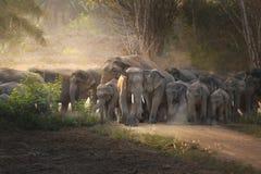 在狂放的泰国大象 库存图片