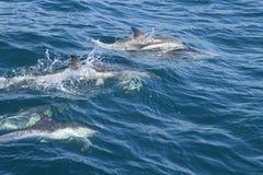 在狂放的海豚 免版税库存图片