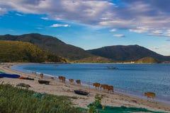 在狂放的海滩的母牛 图库摄影