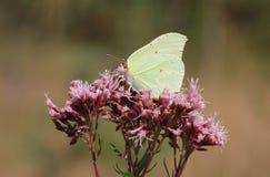 在狂放的牛至属植物花的硫磺蝴蝶 免版税图库摄影
