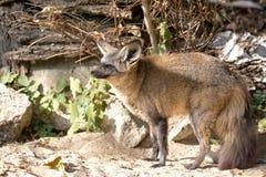 在狂放的狐狸cana 库存照片