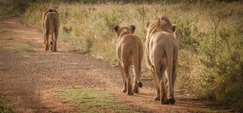 在狂放的狮子在夸祖鲁纳塔尔 图库摄影