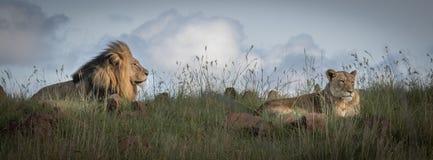 在狂放的狮子在夸祖鲁纳塔尔 库存照片