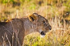 在狂放的狮子在非洲人 狮子-食肉动物的felines 库存照片