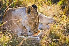 在狂放的狮子在非洲人 狮子-食肉动物的felines 免版税库存图片