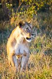 在狂放的狮子在非洲人 狮子-食肉动物的felines 图库摄影