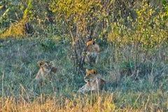 在狂放的狮子在非洲人 狮子-食肉动物的felines 免版税图库摄影