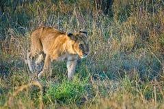 在狂放的狮子在非洲人 狮子-食肉动物的felines 免版税库存照片