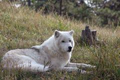 在狂放的狼 免版税库存图片