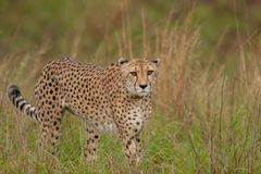 在狂放的猎豹在夸祖鲁纳塔尔 库存照片