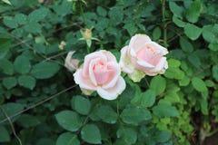 在狂放的玫瑰 库存照片
