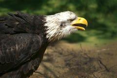 在狂放的白头鹰 免版税库存照片