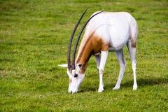 在狂放的短弯刀有角的羚羊属 库存图片