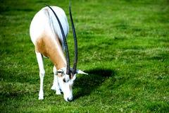 在狂放的短弯刀有角的羚羊属 库存照片