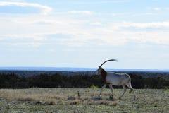 在狂放的短弯刀羚羊属 图库摄影
